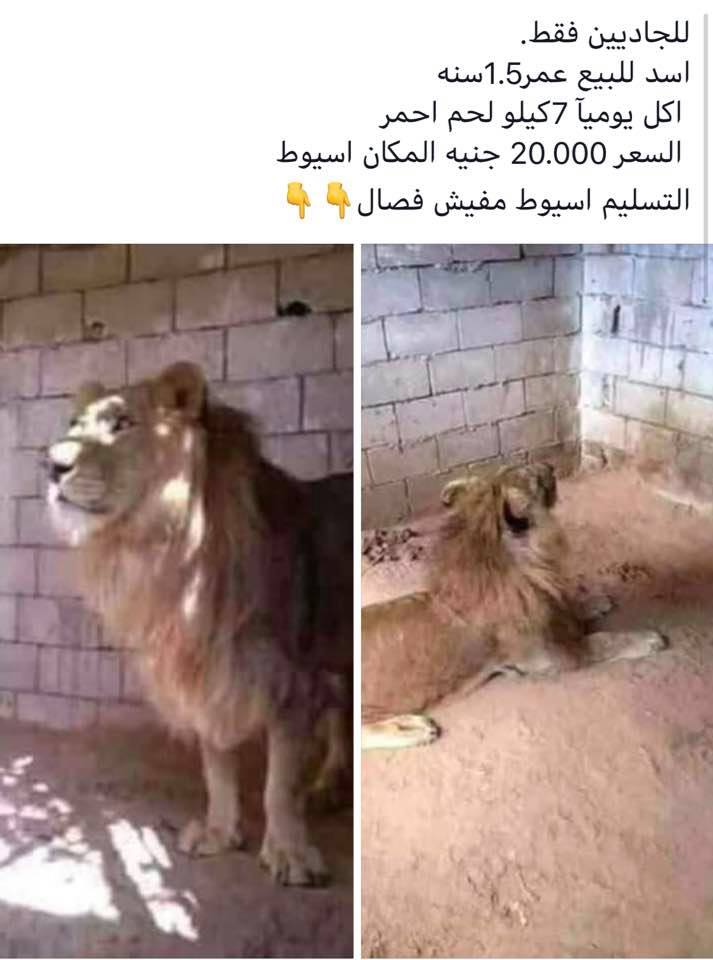 الأسد المعروض للبيع في أسيوط ويأكل 7 كيلو لحم يوميا نافق منذ 3 شهور بوابة الشروق نسخة الموبايل
