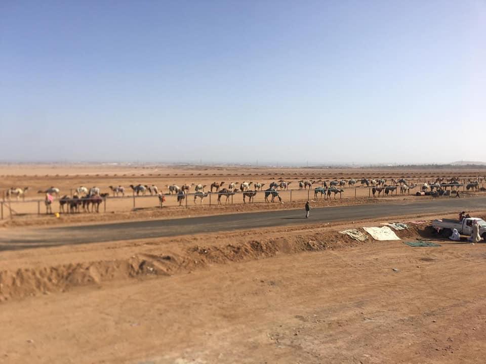 بالصور : بدء توافد الجمال من بعض الدول العربية لمضمار هجن شرم الشيخ تمهيدا لانطلاق مهرجان سباق الهجن العالمي -