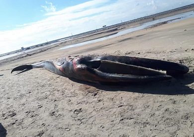 الحوت النافق المعثور عليه بكفر الشيخ