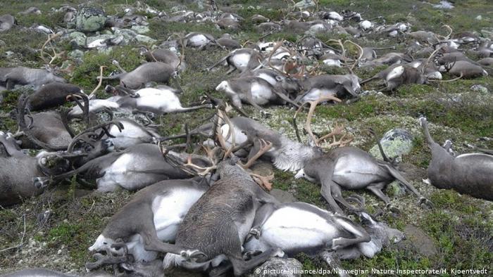 قتل حيوان الرنة النرويجي على ما يبدو بسبب البرق