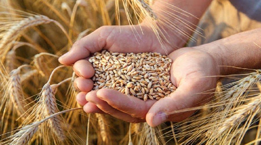 مسؤول روسي: روسيا قد تكون أكثر نشاطا في مناقصات الجزائر لمحصول القمح