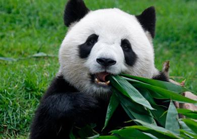 الباندا العملاقة «شين شين»