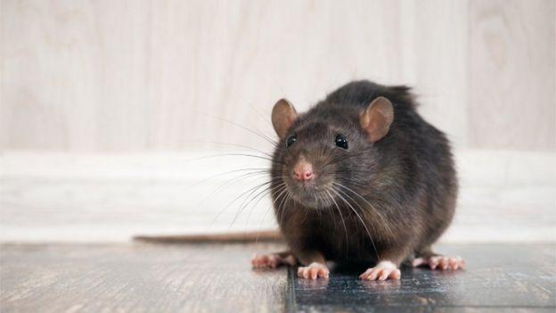 الوباء دفع الفئران لتغيير سلوكها