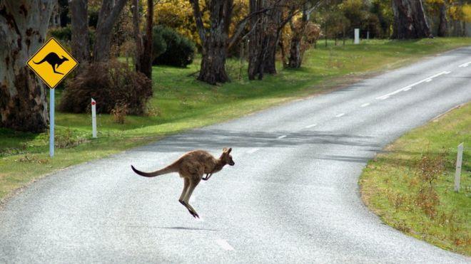 يقع أكثر من 20 ألف حادث اصطدام سنويا بسبب حيوانات الكنغر في أستراليا