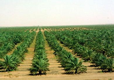 مصر تنافس في تصدير التمور من خلال إقامة مزرعة نخيل شاسعة