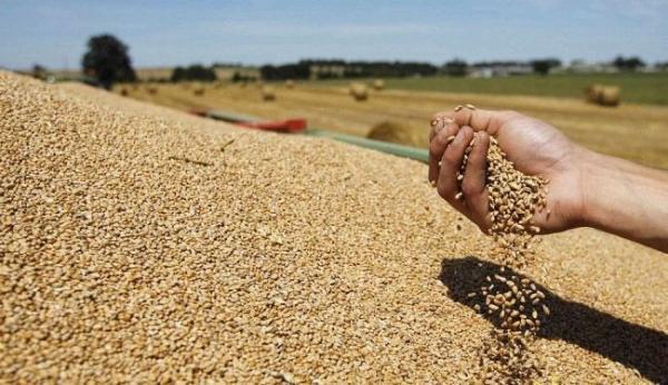 «الزراعة»: تحديد سعر شراء القمح المحلي في مارس المقبل