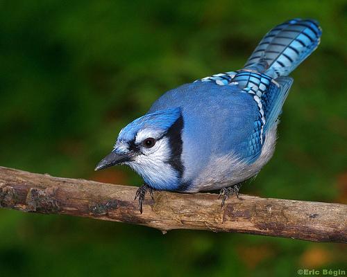 طائر القرقف الأزرق