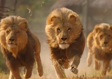 هروب 5 أسود من منتزه بجنوب إفريقيا Osoodasd