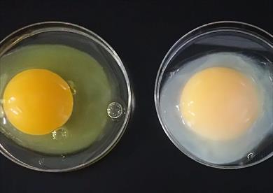 """البيضة العادية على اليسار و """"البيضة الذهبية"""" على اليمين"""