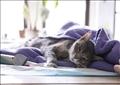 قط يخضع لفحوص لاكتشاف إذا كان أصيب بفيروس كورونا في مانهاتن بولاية نيويورك. تصوير: كيتلين أوكس - رويترز.