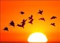 بجع يحلق في سماء كاليفورنيا. صورة من أرشيف رويترز