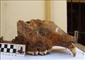 جزء من جمجمة دب كهوف في سيبيريا يوم الخميس. صورة لرويترز. يحظر إعادة بيعها أو الاحتفاظ بها في أرشيف