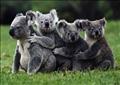 الكوالا الأسترالية