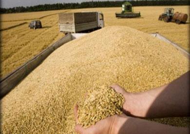 «الزراعة»: استلام 4.1 مليون طن قمح محلي من المزارعين حتى الآن