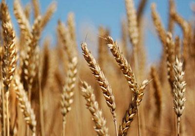 http://www.shorouknews.com/uploadedimages/Sections/Economy/Market/original/Wheat1536.jpg