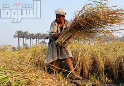 محصول الأرز المصري