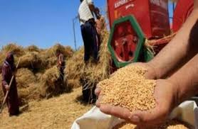 ارتفاع معدلات توريد القمح