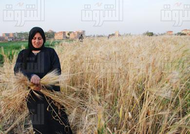موسم حصاد القمح- تصوير جيهان نصر