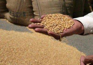 فلاحون بكفر الشيخ يطالبون بتسهيل إجراءات استلام القمح وصرف مستحقاتهم