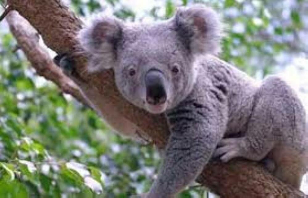 علماء يفكون الشفرة الجينية لدببة الكوالا ويجددون الأمل في إنقاذها من مرض قاتل