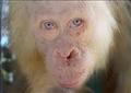 أنثى إنسان الغاب «المهقاء» الوحيدة في العالم تنتظر نقلها لجزيرة اصطناعية