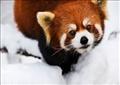 إنقاذ 6 من «الباندا الحمراء» المهددة بالانقراض من المهربين في لاوس