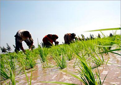 أرشيفية _ زراعة الأرز
