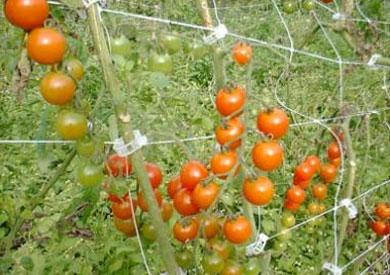 الموجة الحارة تزيد إنتاج الطماطم والكوسة وتحرق الملوخية والموز