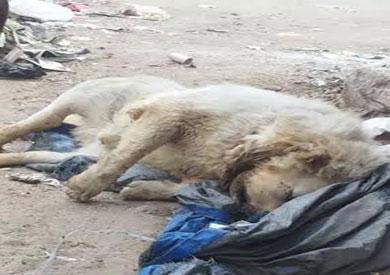 جثة الحيوان الذي يشبه الأسد وعثر عليه أهالي المحلة الكبري