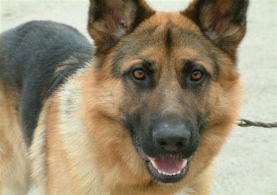 الكلب البوليسي