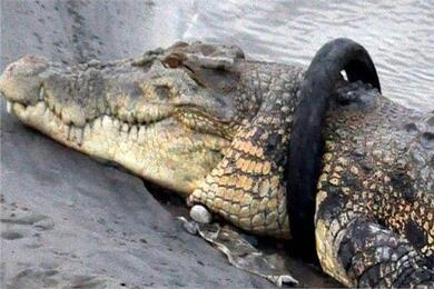 تمساح يهاجم رجلا سقط من على دراجته في فلوريدا ويلحق به إصابات خطيرة