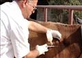 تحصين الماشية من الحمى القلاعية