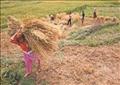 توقعات بإنتاج 4.5 مليون طن أرز