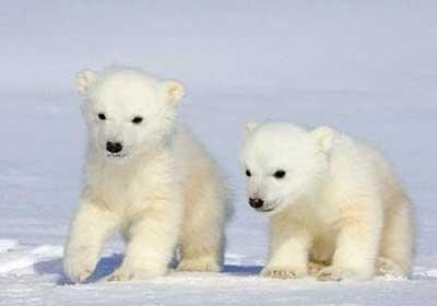 كيف يتجنب الدب القطبي مخاطر غذائه المليء بالدهون؟ بوابة