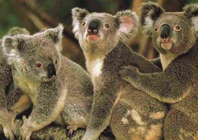 الكوالا - ارشيفية