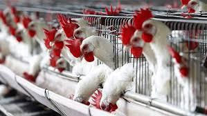 تراجع أسعار الدواجن في الأسواق.. وارتفاع البيض ليسجل37 جنيهًا