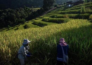 مزارعو تايلاند