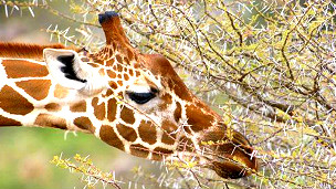 الحيوانات تشعر بالحزن كرد فعل منها على موت اقرانها 120821112609_giraffe_304x171_ap_nocredit