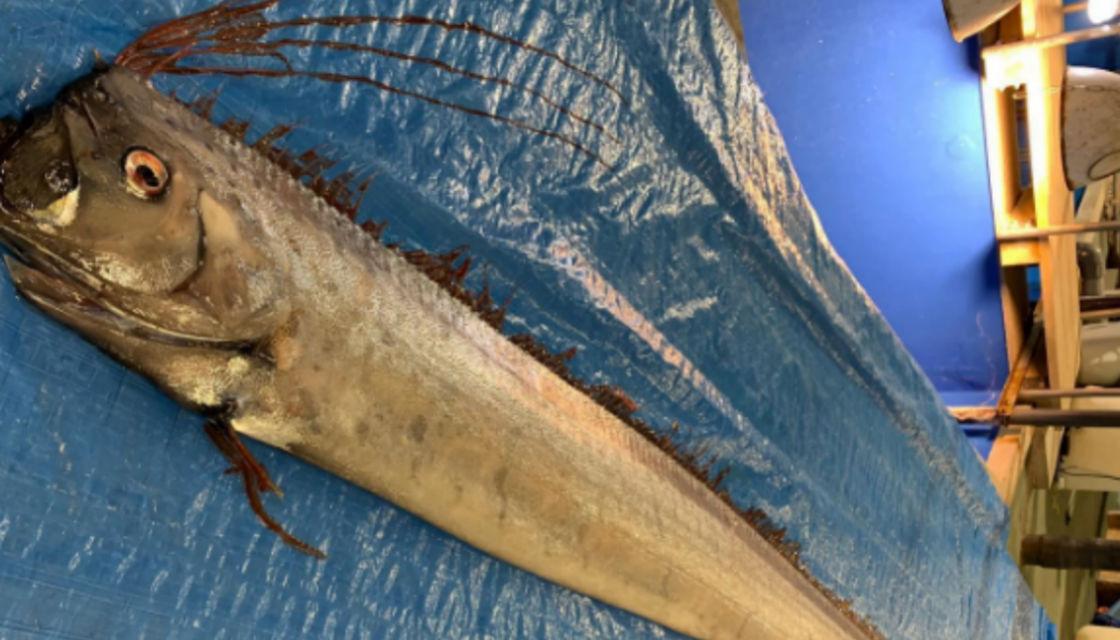 سمكة المجداف التي ظهرت في اليابان