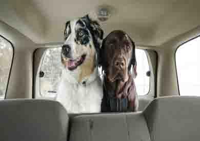 حيوانات أليفة داخل السيارة