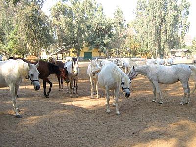 محطة الزهراء لتربية الخيول العربية