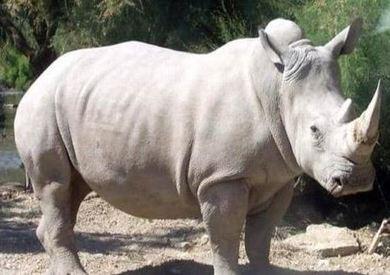 أنثى وحيد القرن الأبيض الشمالي