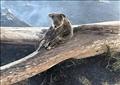 الكوالا حزينة وسط حرائق استراليا